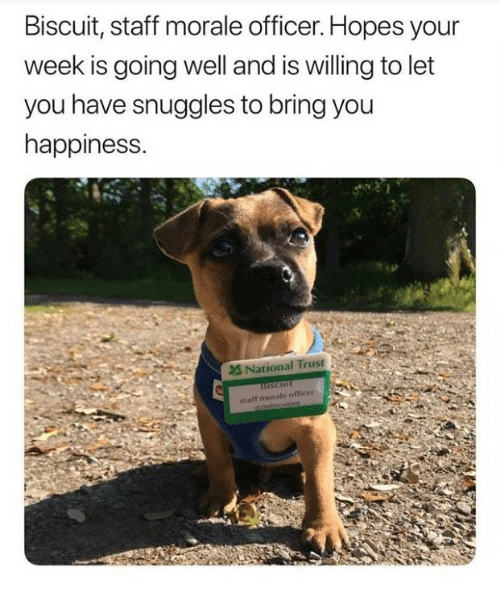 Happiness, Staff, and You: Biscuit, staff morale officer. Hopes your  week is going well and is willing to let  you have snuggles to bring you  happiness.  National Trust