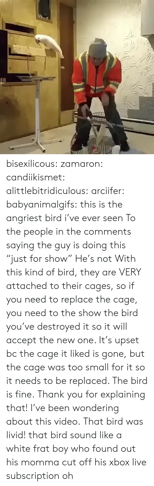 "Angriest: bisexilicous: zamaron:  candiikismet:  alittlebitridiculous:   arciifer:  babyanimalgifs:  this is the angriest bird i've ever seen  To the people in the comments saying the guy is doing this ""just for show"" He's not With this kind of bird, they are VERY attached to their cages, so if you need to replace the cage, you need to the show the bird you've destroyed it so it will accept the new one. It's upset bc the cage it liked is gone, but the cage was too small for it so it needs to be replaced. The bird is fine.   Thank you for explaining that!  I've been wondering about this video.   That bird was livid!   that bird sound like a white frat boy who found out his momma cut off his xbox live subscription  oh"