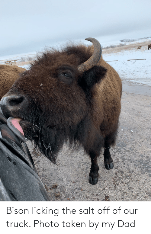 bison: Bison licking the salt off of our truck. Photo taken by my Dad