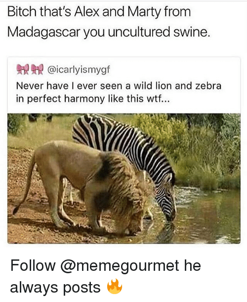 Bitch, Memes, and Wtf: Bitch that's Alex and Marty from  Madagascar you uncultured swine.  鼎鼎@icarlyismygf  Never have I ever seen a wild lion and zebra  in perfect harmony like this wtf... Follow @memegourmet he always posts 🔥