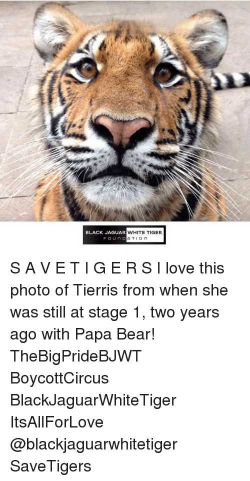 papa bear: BLACK JAGUAR  WHITE TIGER  ou n D  a TI on S A V E T I G E R S I love this photo of Tierris from when she was still at stage 1, two years ago with Papa Bear! TheBigPrideBJWT BoycottCircus BlackJaguarWhiteTiger ItsAllForLove @blackjaguarwhitetiger SaveTigers