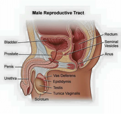 Anus medical view male
