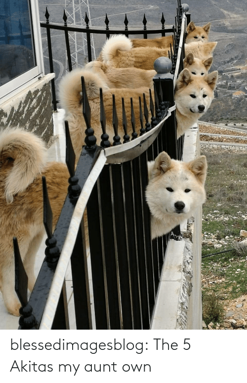 My Aunt: blessedimagesblog:  The 5 Akitas my aunt own