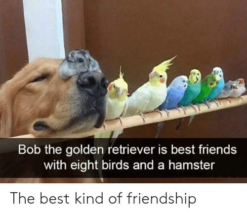 retriever: Bob the golden retriever is best friends  with eight birds and a hamster The best kind of friendship