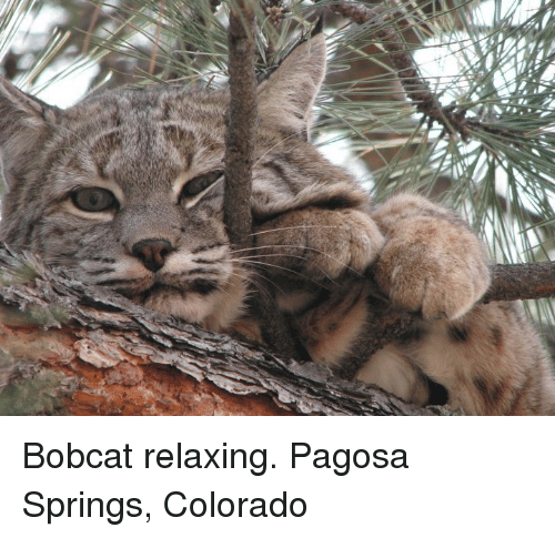 Bobcat: Bobcat relaxing. Pagosa Springs, Colorado