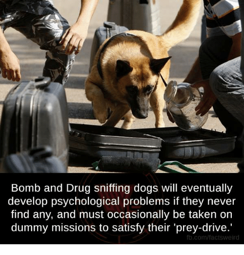 Dummie: Bomb and Drug sniffing dogs will eventually  develop psychological problems if they never  find any, and must occasionally be taken on  dummy missions to satisfy their 'prey-drive.  fb.com/factsweird