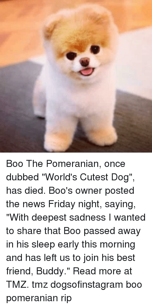"""tmz: Boo The Pomeranian, once dubbed """"World's Cutest Dog"""", has died. Boo's owner posted the news Friday night, saying, """"With deepest sadness I wanted to share that Boo passed away in his sleep early this morning and has left us to join his best friend, Buddy."""" Read more at TMZ. tmz dogsofinstagram boo pomeranian rip"""