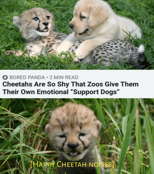 """zoos: BORED PANDA 2 MIN READ  Cheetahs Are So Shy That Zoos Give Them  Their Own Emotional """"Support Dogs""""  THAPPY CHEETAH NOISES]"""