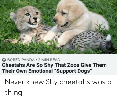 """Panda: BORED PANDA 2 MIN READ  Cheetahs Are So Shy That Zoos Give Them  Their Own Emotional """"Support Dogs"""" Never knew Shy cheetahs was a thing"""