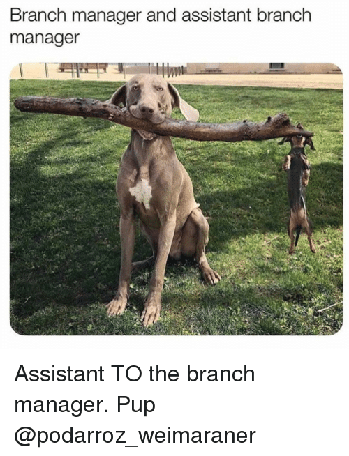 Memes, Pup, and 🤖: Branch manager and assistant branch  manager Assistant TO the branch manager. Pup @podarroz_weimaraner