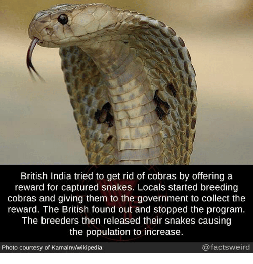 Memes, Wikipedia, and India: British India tried to get rid of cobras by offering a  reward for captured snakes. Locals started breeding  cobras and giving them to the government to collect the  reward. The British found out and stopped the program  The breeders then released their snakes causing  the population to increase.  Photo courtesy of Kamalnv/wikipedia  @factsweird