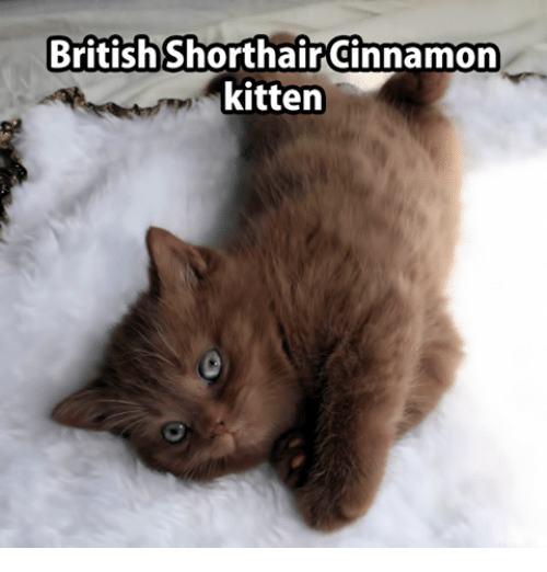 Memes, 🤖, and Kitten: BritishShorthairCinnamon  kitten