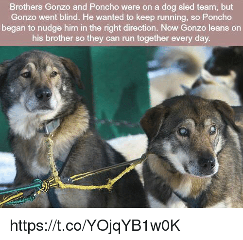Nudge: Brothers Gonzo and Poncho were on a dog sled team, but  Gonzo went blind. He wanted to keep running, so Poncho  began to nudge him in the right direction. Now Gonzo leans on  his brother so they can run together every day https://t.co/YOjqYB1w0K