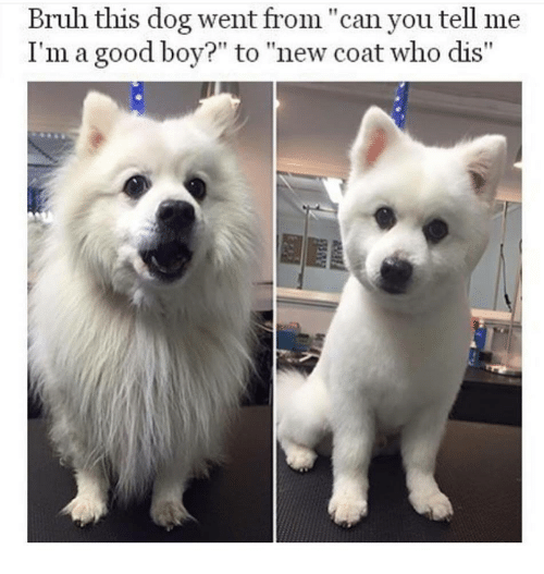 """Who dis: Bruh this dog went from""""can you tell me  I'm a good boy?"""" to """"new coat who dis"""""""