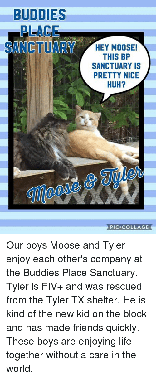 new kids on the block: BUDDIES  PLAGE  SANCTUARY HEY MOOSE!  THIS BP  SANCTUARY IS  PRETTY NICE  HUH?  PIC. COLLAGE Our boys Moose and Tyler enjoy each other's company at the Buddies Place Sanctuary.   Tyler  is FIV+ and was rescued from the Tyler TX shelter.   He is kind of the new kid on the block and has made friends quickly. These boys are enjoying life together without a care in the world.