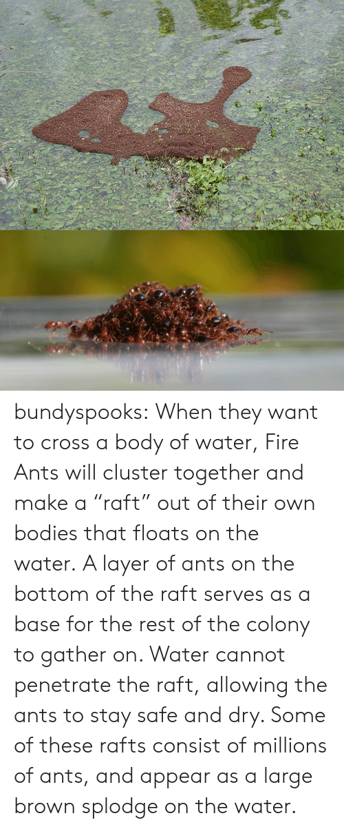 """the colony: bundyspooks:  When they want to cross a body of water, Fire Ants will cluster together and make a""""raft"""" out of their own bodies that floats on the water.A layer of ants on the bottom of the raft serves as a base for the rest of the colony to gather on. Water cannot penetrate the raft, allowing the ants to stay safe and dry. Some of these rafts consist of millions of ants, and appear as a large brown splodge on the water."""