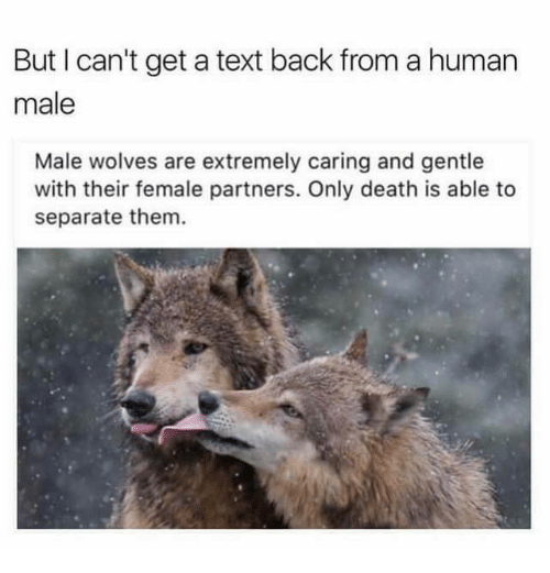 Cant Get A Text Back: But I can't get a text back from a humarn  male  Male wolves are extremely caring and gentle  with their female partners. Only death is able to  separate them.