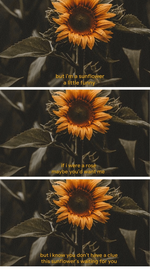 Sunflowers: but i'm a sunflower  a little funny  if i were a rose  maybe you'd want m  but i know you don't háve a clu  this sunflower's waiting for you