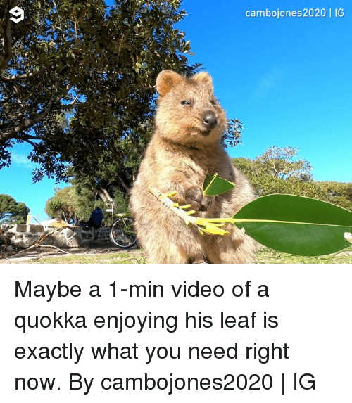 Dank, Video, and 🤖: cambojones2020 | IG Maybe a 1-min video of a quokka enjoying his leaf is exactly what you need right now.  By cambojones2020 | IG