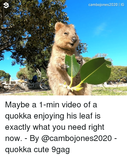 9gag, Cute, and Memes: cambojones2020 | IG Maybe a 1-min video of a quokka enjoying his leaf is exactly what you need right now. - By @cambojones2020 - quokka cute 9gag