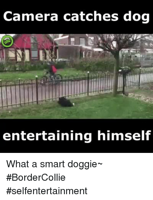 Memes, Camera, and 🤖: Camera catches dog  entertaining himself What a smart doggie~ #BorderCollie #selfentertainment