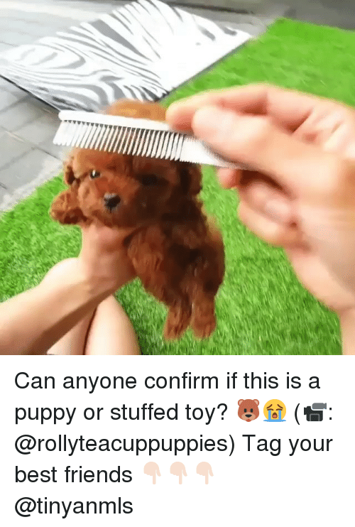 Friends, Memes, and Best: Can anyone confirm if this is a puppy or stuffed toy? 🐻😭 (📹: @rollyteacuppuppies) Tag your best friends 👇🏻👇🏻👇🏻 @tinyanmls