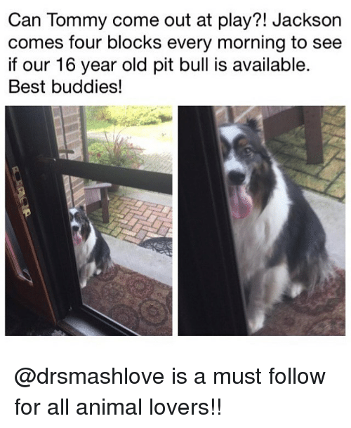 Pits: Can Tommy come out at play?! Jackson  comes four blocks every morning to see  if our 16 year old pit bull is available.  Best buddies! @drsmashlove is a must follow for all animal lovers!!