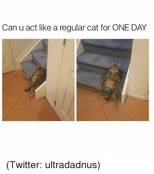 Funny, Meme, and Regular: Can u act like a regular cat for ONE DAY (Twitter: ultradadnus)