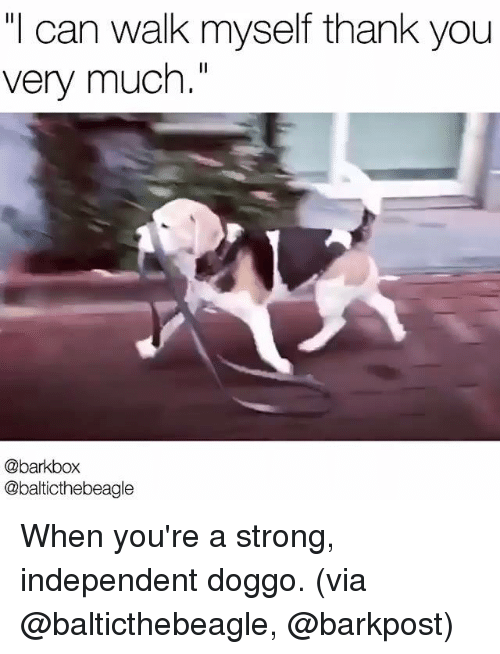 """Memes, Thank You, and Strong: can walk myself thank you  very much.""""  @bark box  @balticthebeagle When you're a strong, independent doggo.   (via @balticthebeagle, @barkpost)"""