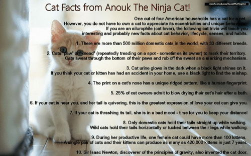 cat urine: Cat Facts from Anouk The Ninja Cat!  One out of four American households has a cat for a pet  However, you do not have to own a cat to appreciate its eccentricities and unique beha  If you are an ailurophile (cat lover), the following cat trivia will teach you  interesting and probably new facts about cat behavior, lifecycle, senses, and habits.  1. There are more than 500 million domestic cats in the world, with 33 different breeds.  2. Cats paw dRnead (repeatedly treading on a spot - sometimes its owner) to mark their territory  ts sweat through the bottom of their paws and rub off the sweat as a marking mechanism.  3. Cat urine glows in the dark when a black light shines on it.  If you think your cat or kitten has had an accident in your home, use a black light to find the mishap.  4. The print on a cat's nose has a unique ridged pattern, like a human fingerprint.  5, 25% of cat owners admit to blow drying their cat's hair after a bath.  6. If your cat is near you, and her tail is quivering, this is the greatest expression of love your cat can give you.  7. If your cat is thrashing its tail, she is in a bad mood -time for you to keep your distancel  8. Only domestic cats hold their tails straight up while walking.  Wild cats hold their tails horizontally or tucked between their legs while walking.  9. During her productive life, one female cat could have more than 100 kittens.  pair of cats and their kittens can produce as many as 420,000 kittens in just 7 years  10. Sir Isaac Newton, discoverer of the principles of gravity, also invented the cat door.