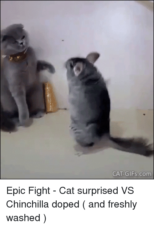 chinchilla: CAT-GIFs.com Epic Fight - Cat surprised VS Chinchilla doped ( and freshly washed )