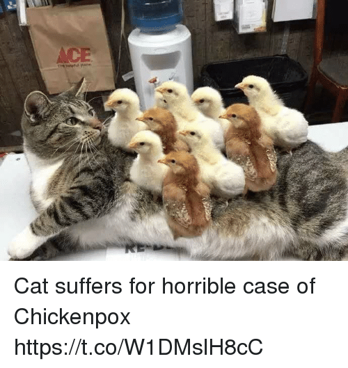 chickenpox: Cat suffers for horrible case of Chickenpox https://t.co/W1DMslH8cC