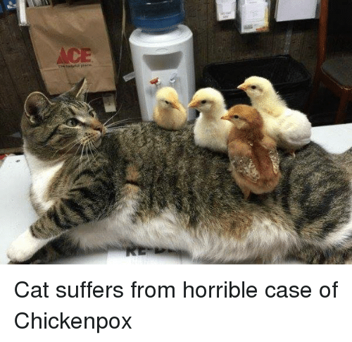 chickenpox: Cat suffers from horrible case of Chickenpox