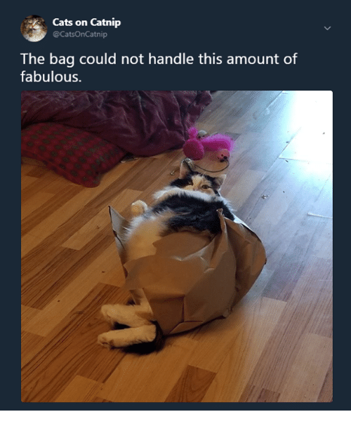 Cats, Memes, and 🤖: Cats on Catnip  @CatsOnCatnip  The bag could not handle this amount of  fabulous.