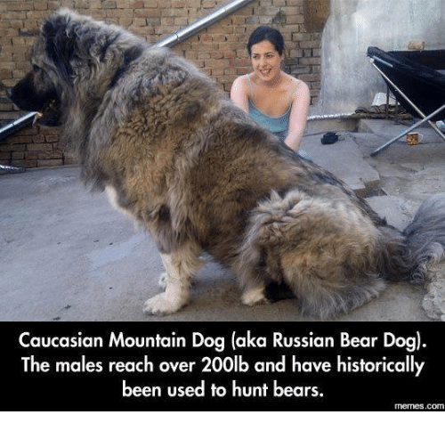 Bears Memes: Caucasian Mountain Dog (aka Russian Bear Dog).  The males reach over 200lb and have historically  been used to hunt bears  memes.com