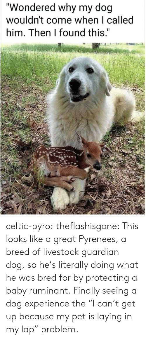 "seeing: celtic-pyro:  theflashisgone: This looks like a great Pyrenees, a breed of livestock guardian dog, so he's literally doing what he was bred for by protecting a baby ruminant. Finally seeing a dog experience the ""I can't get up because my pet is laying in my lap"" problem."