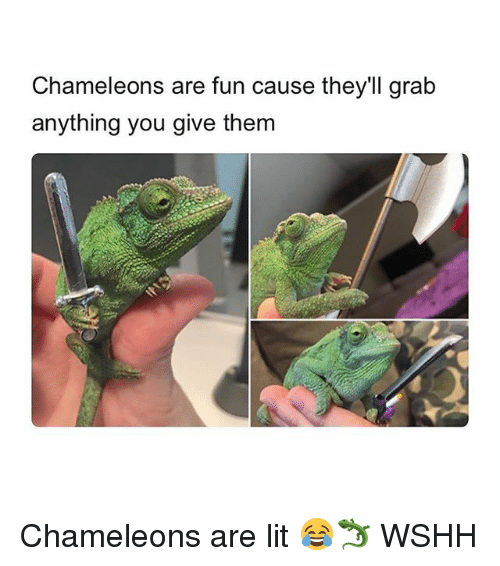 Lit, Memes, and Wshh: Chameleons are fun cause they'll grab  anything you give them Chameleons are lit 😂🦎 WSHH