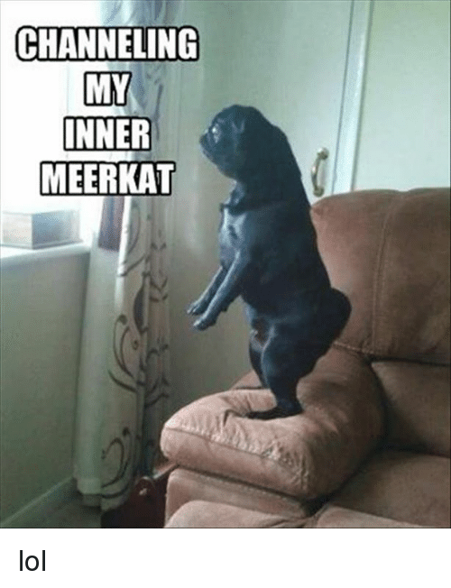 Dank, Lol, and Meerkat: CHANNELING  MY  INNER  MEERKAT lol