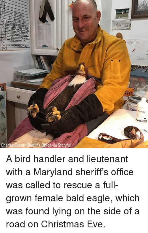 Christmas, Memes, and Eagle: Chardes County Sheriff's Office via Storyful A bird handler and lieutenant with a Maryland sheriff's office was called to rescue a full-grown female bald eagle, which was found lying on the side of a road on Christmas Eve.