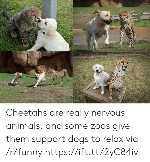 zoos: Cheetahs are really nervous animals, and some zoos give them support dogs to relax via /r/funny https://ift.tt/2yC84iv