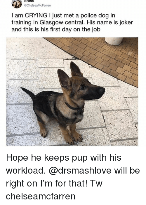Crying, Joker, and Memes: cheis  ChelseaMcFerren  I am CRYING I just met a police dog in  training in Glasgow central. His name is joker  and this is his first day on the job Hope he keeps pup with his workload. @drsmashlove will be right on I'm for that! Tw chelseamcfarren