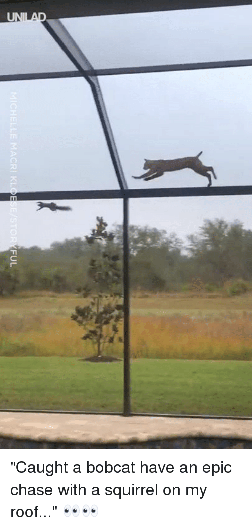"Bobcat: CHELLE MACRI KLOESE STOR  FUL ""Caught a bobcat have an epic chase with a squirrel on my roof..."" 👀👀"