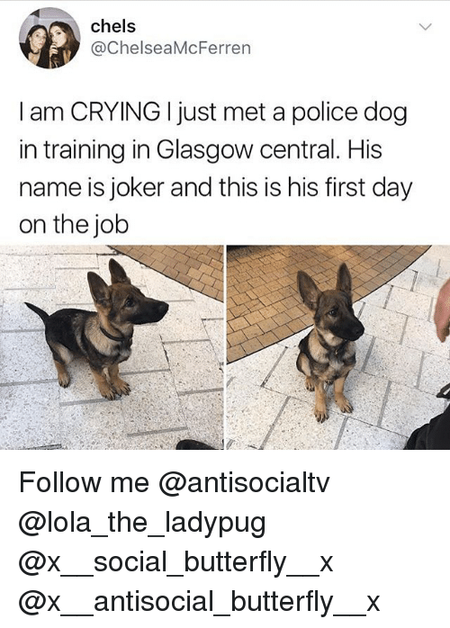 Crying, Joker, and Memes: chels  @ChelseaMcFerren  I am CRYING I just met a police dog  in training in Glasgow central. His  name is joker and this is his first day  on the job Follow me @antisocialtv @lola_the_ladypug @x__social_butterfly__x @x__antisocial_butterfly__x