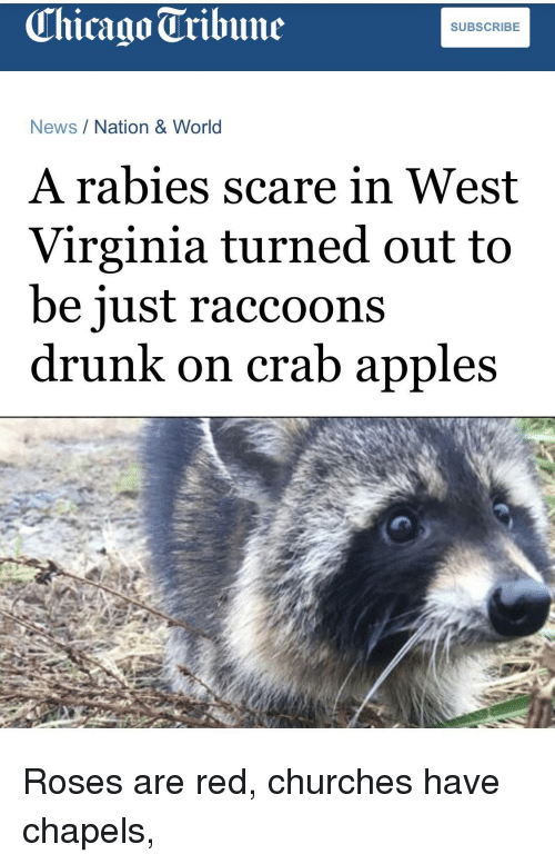 chicago tribune: Chicago Tribune  SUBSCRIBE  News/Nation & World  A rabies scare in West  Virginia turned out to  be iust raccoons  drunk on crab apples Roses are red, churches have chapels,