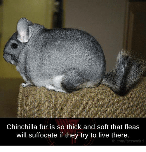 chinchilla: Chinchilla fur is so thick and soft that fleas  will suffocate if they try to live there.  com/factsweird