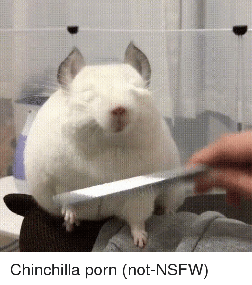 Funny, Nsfw, and Porn: Chinchilla porn (not-NSFW)