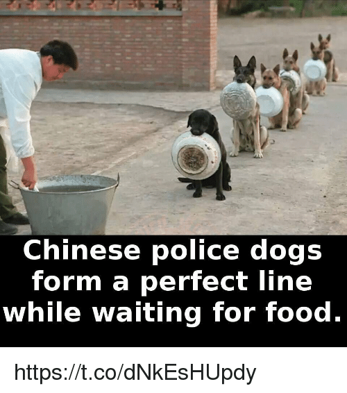 Waiting For Food: Chinese police dogs  form a perfect line  while waiting for food. https://t.co/dNkEsHUpdy