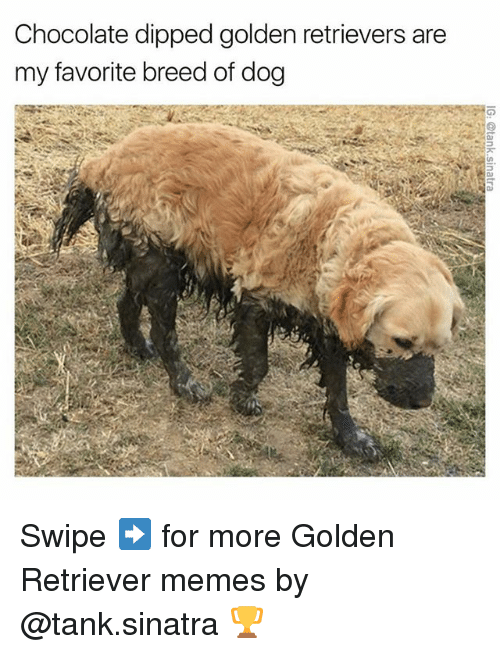 Memes, Chocolate, and Golden Retriever: Chocolate dipped golden retrievers are  my favorite breed of dog Swipe ➡️ for more Golden Retriever memes by @tank.sinatra 🏆