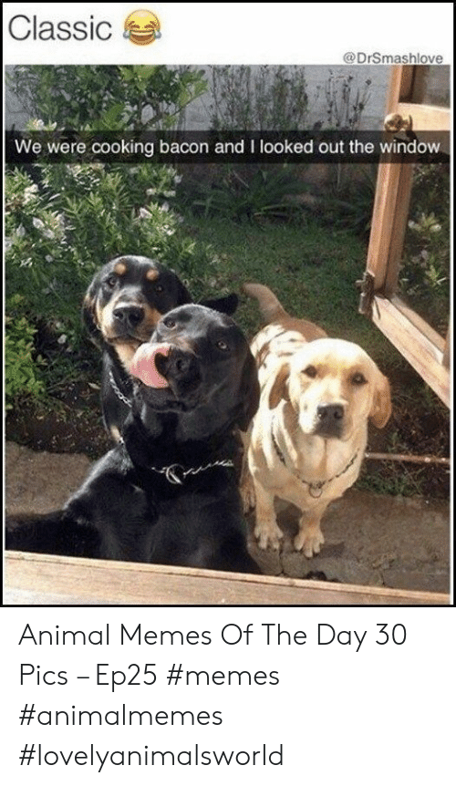 out the window: Classic  @DrSmashlove  We were cooking bacon and I looked out the window Animal Memes Of The Day 30 Pics – Ep25 #memes #animalmemes #lovelyanimalsworld