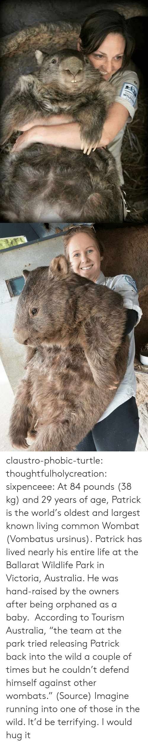 "victoria: claustro-phobic-turtle:  thoughtfulholycreation:  sixpenceee:   At 84 pounds (38 kg) and 29 years of age, Patrick is the world's oldest and largest known living common Wombat (Vombatus ursinus). Patrick has lived nearly his entire life at the Ballarat Wildlife Park in Victoria, Australia. He was hand-raised by the owners after being orphaned as a baby.  According to Tourism Australia, ""the team at the park tried releasing Patrick back into the wild a couple of times but he couldn't defend himself against other wombats."" (Source)   Imagine running into one of those in the wild. It'd be terrifying.   I would hug it"